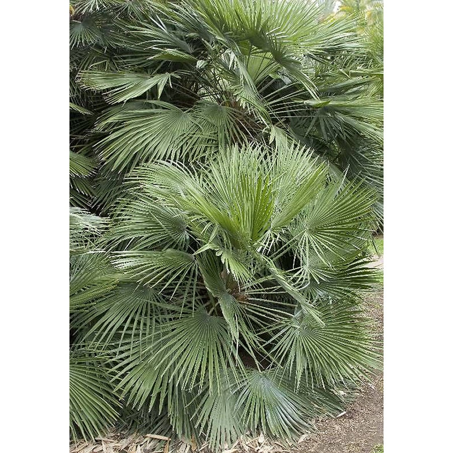 Monrovia 3.58-Gallon Mediterranean Fan Palm Feature Tree
