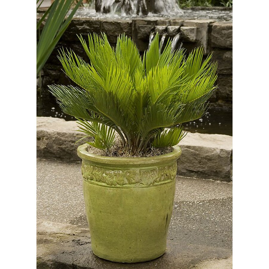 Monrovia 3.58-Gallon Sago Palm Feature Tree