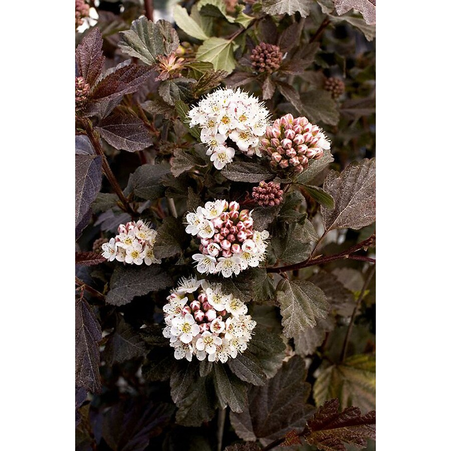Monrovia 1.6-Gallon White Diabolo Ninebark P11211 Flowering Shrub
