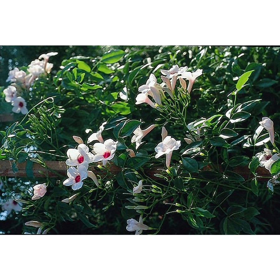 Monrovia 3.6-Gallon Pink Bower Vine