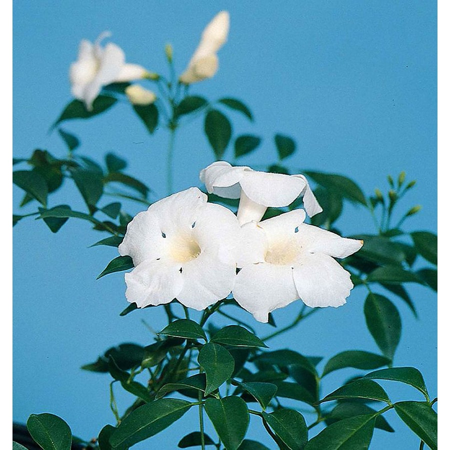 Monrovia 2.6 Quart- White Bower Vine