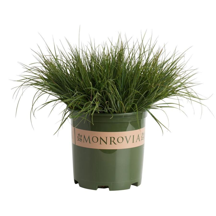 Monrovia Dwarf Fountain Grass