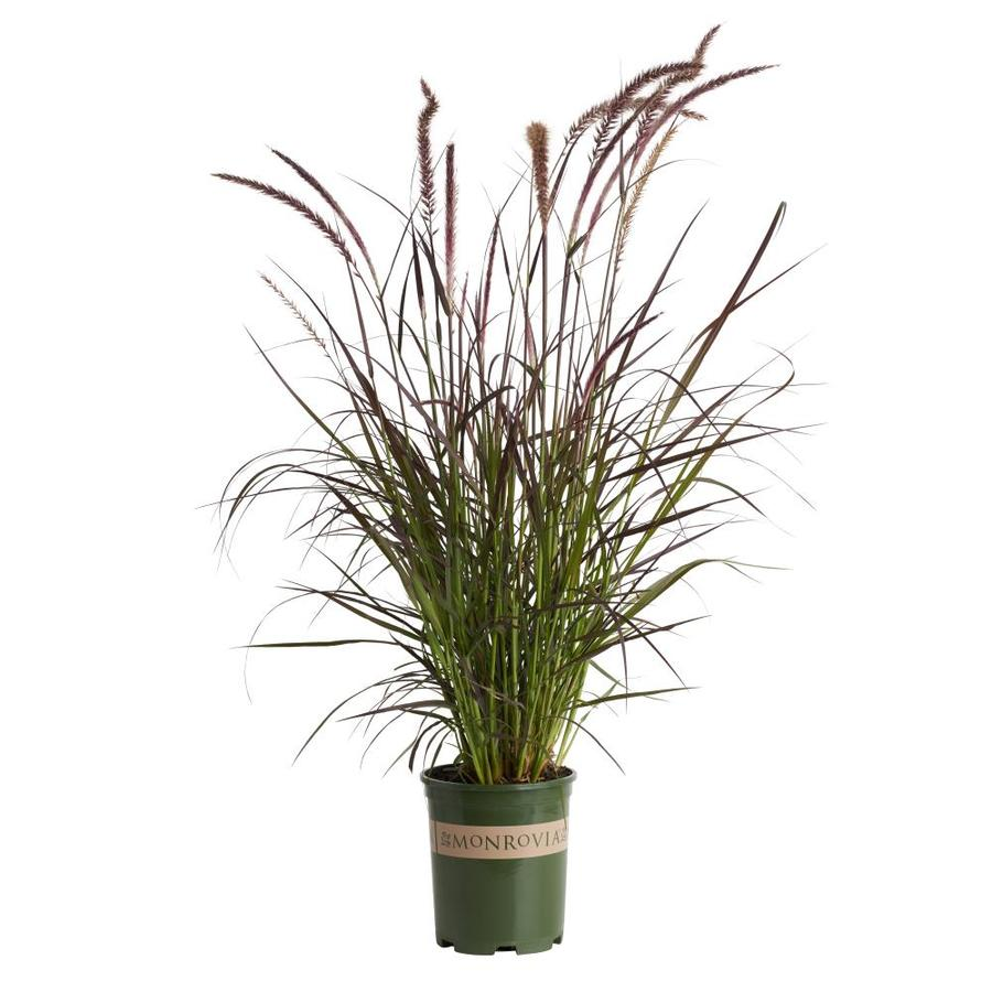 Monrovia 2.6-Quart Purple Fountain Grass