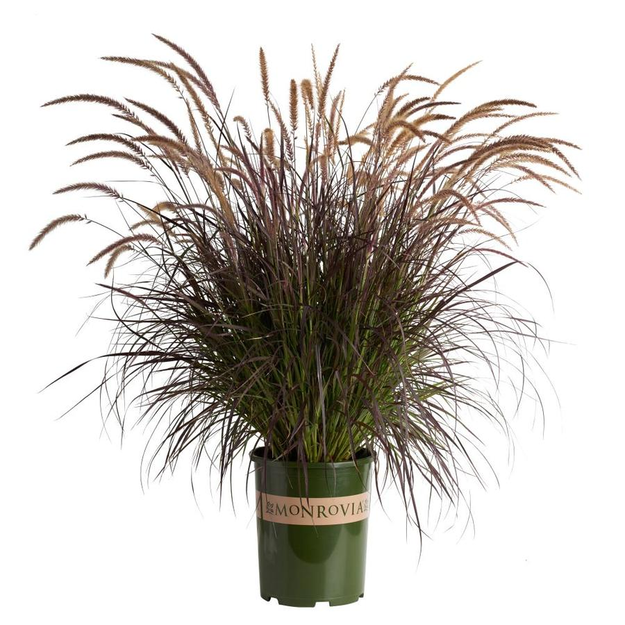 Monrovia 3.58 Gallon Purple Fountain Grass