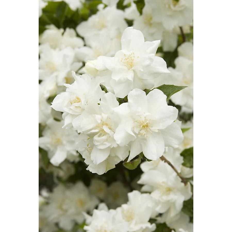 Monrovia 2.6-Quart White Natchez Mock Orange Flowering Shrub