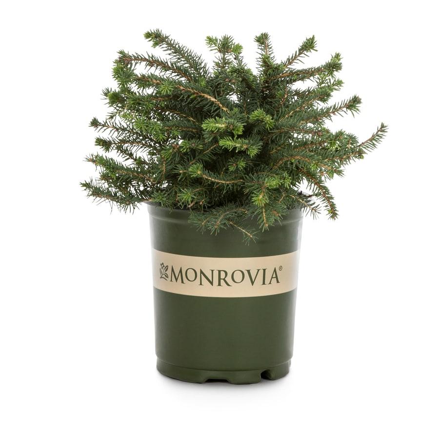 Monrovia 2.6-Quart Nest Spruce Foundation/Hedge Shrub