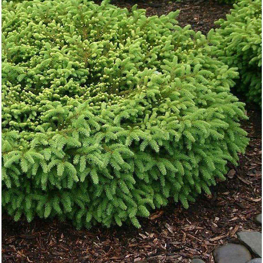 Monrovia 3.58-Gallon Nest Spruce Foundation/Hedge Shrub