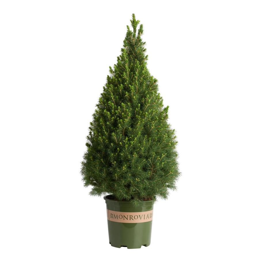 Shop Monrovia 1 6 Gallon Dwarf Alberta Spruce Foundation