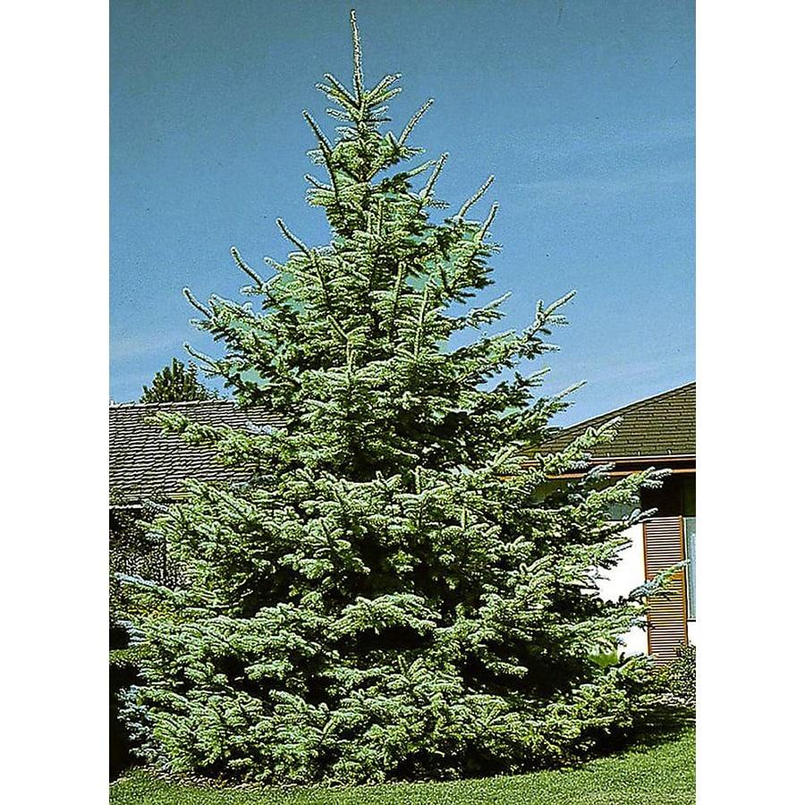 Monrovia 3.58-Gallon Colorado Blue Spruce Screening Shrub