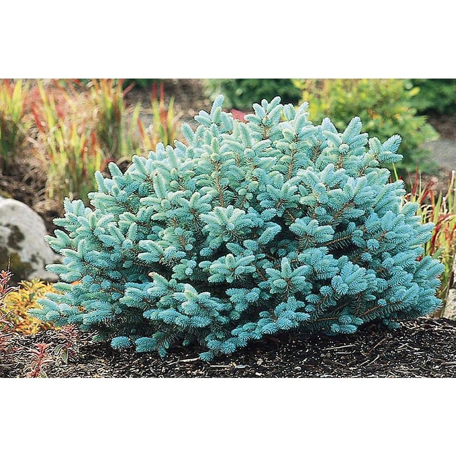 Monrovia 3.58-Gallon Dwarf Globe Blue Spruce Foundation/Hedge Shrub