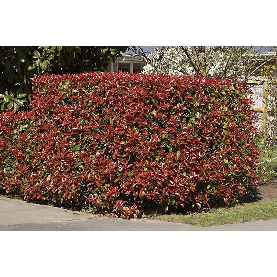 Monrovia 3.58-Gallon White Fraser's Photinia Flowering Shrub