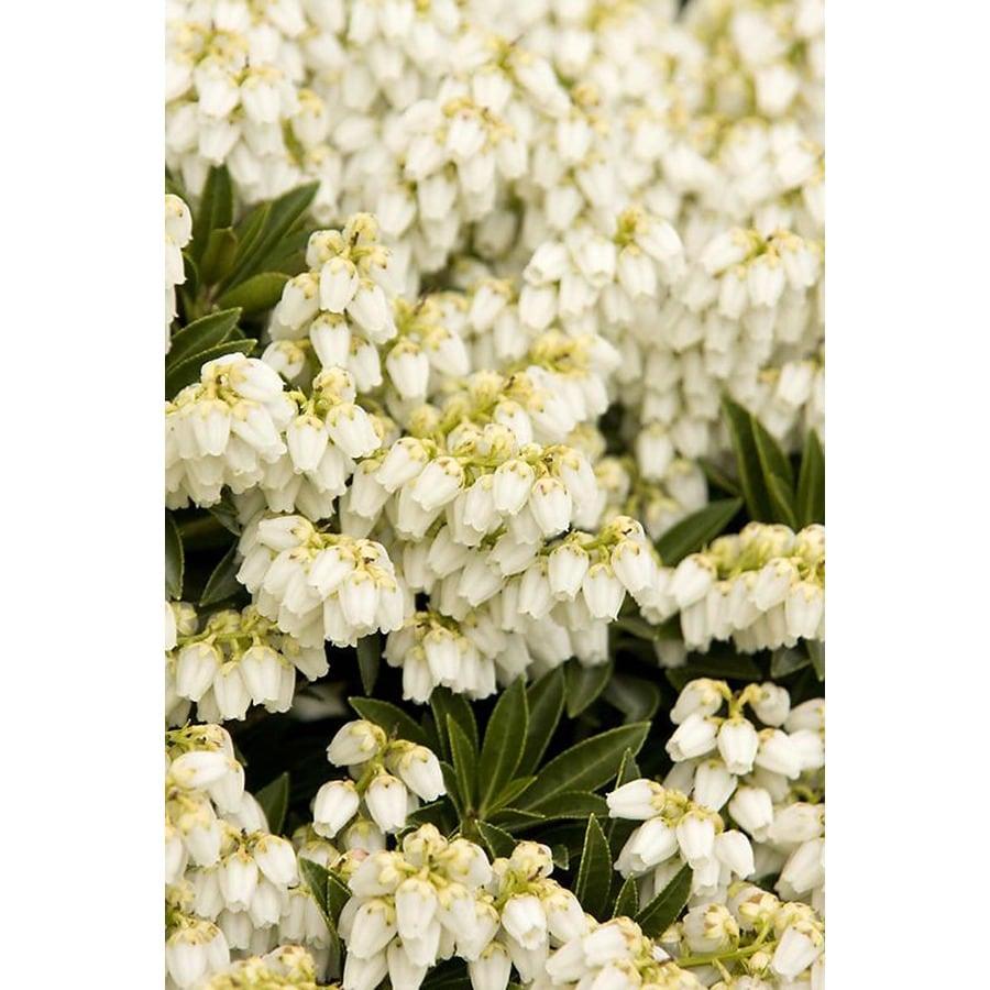 Monrovia 2.6-Quart White Prelude Lily of The Valley Flowering Shrub