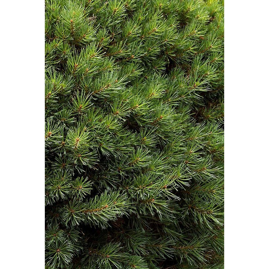 Monrovia 3.58-Gallon Dwarf Scotch Pine Accent Shrub