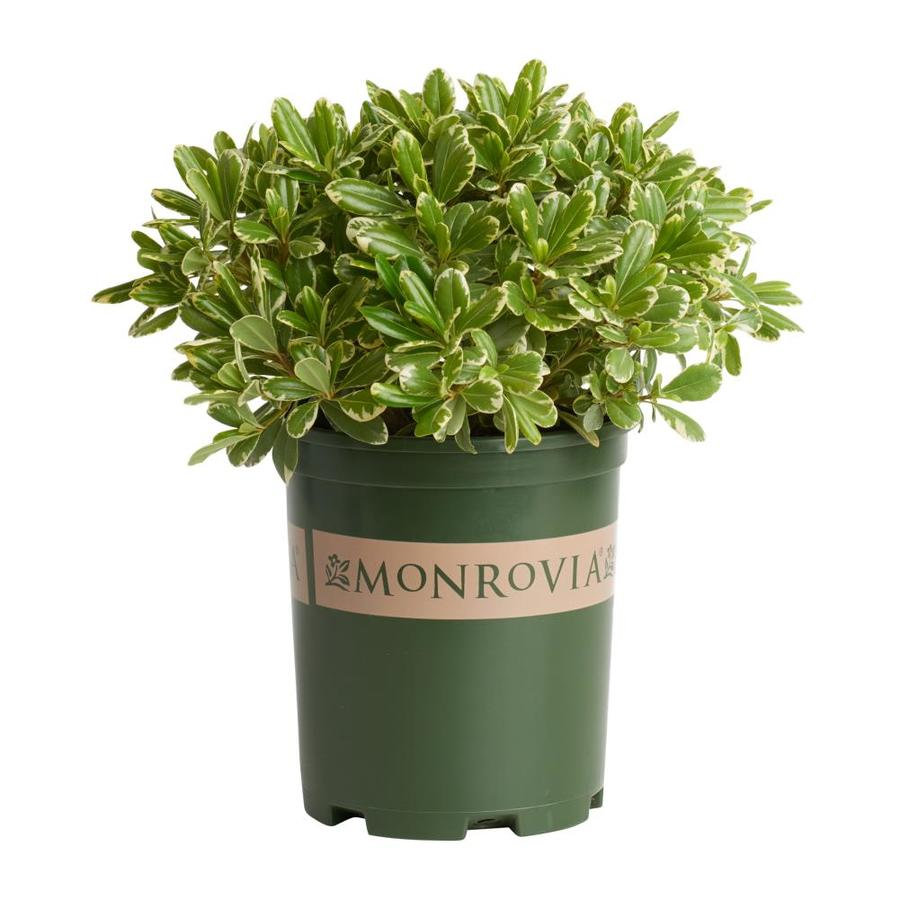 Monrovia 2.6-Quart Cream De Mint Dwarf Mock Orange Feature Shrub