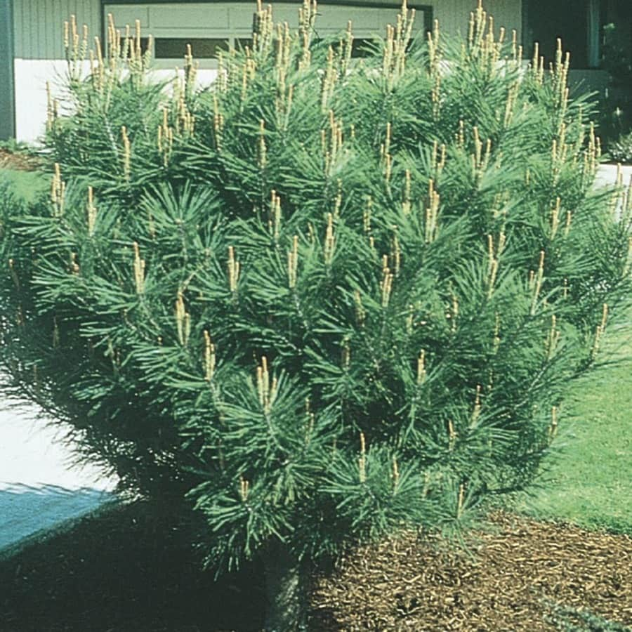 Monrovia 3.58-Gallon Tanyosho Pine Feature Tree (L4808)