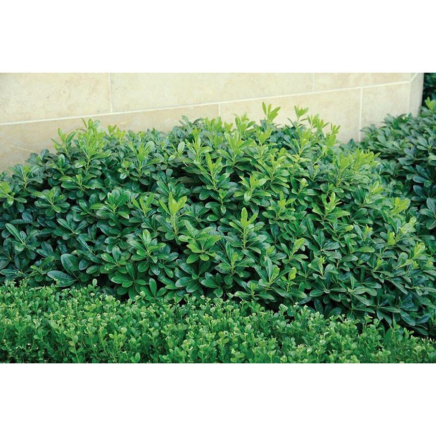 Monrovia 1.6-Gallon White Wheeler's Dwarf Japanese Mock Orange Flowering Shrub