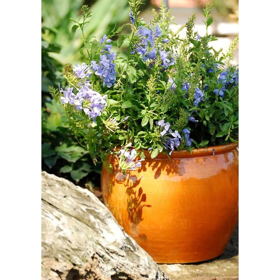 Monrovia 2.6-Quart Blue Royal Cape Plumbago Flowering Shrub