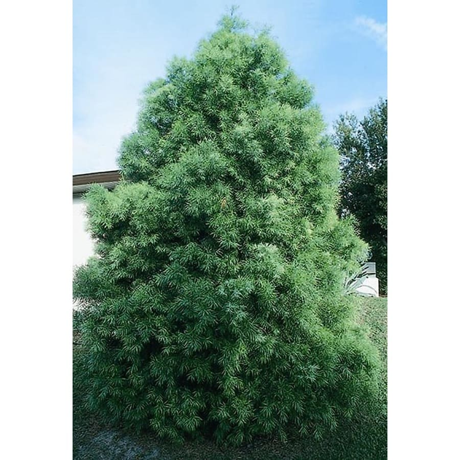 Monrovia 3.58-Gallon Fern Podocarpus Feature Tree