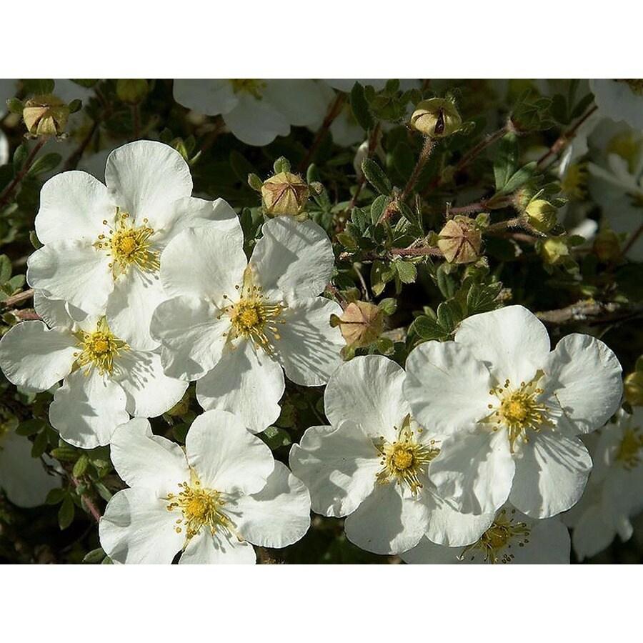 Monrovia 2.6-Quart White Abbotswood Potentilla Flowering Shrub
