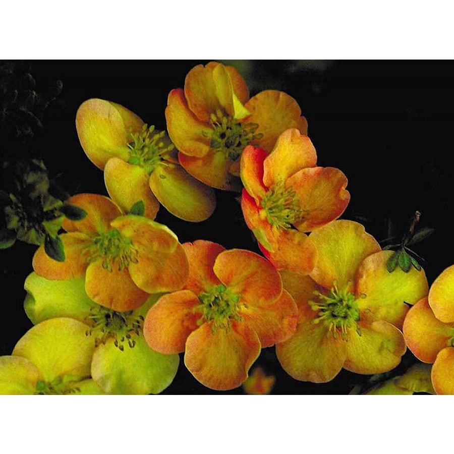 Monrovia 2.6-Quart Orange Sunset Potentilla Flowering Shrub