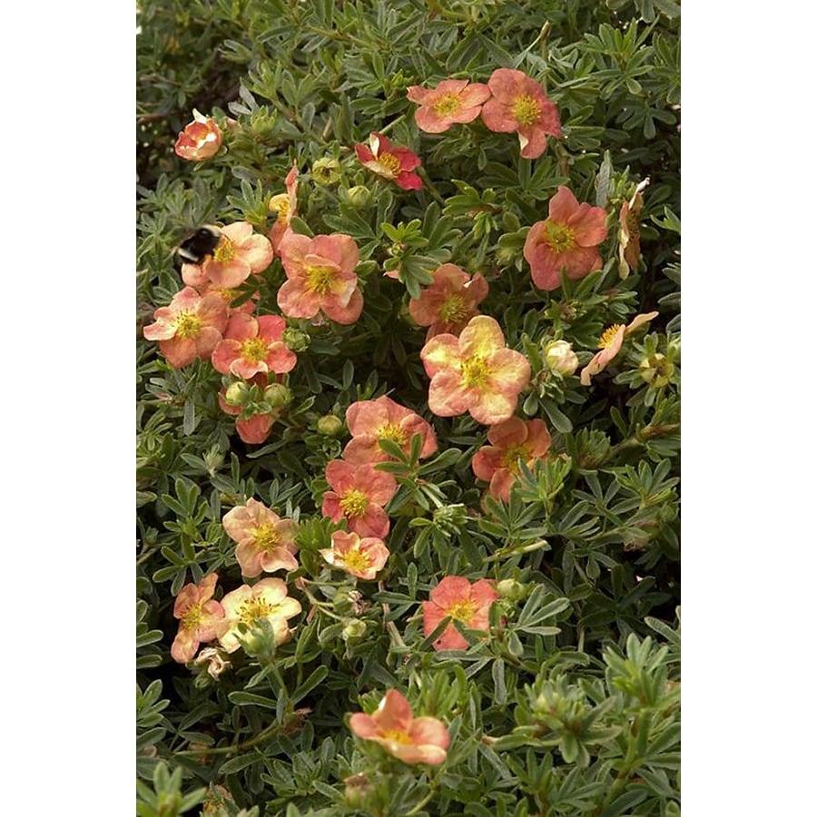 Monrovia 1.6-Gallon Orange Red Ace Potentilla Flowering Shrub