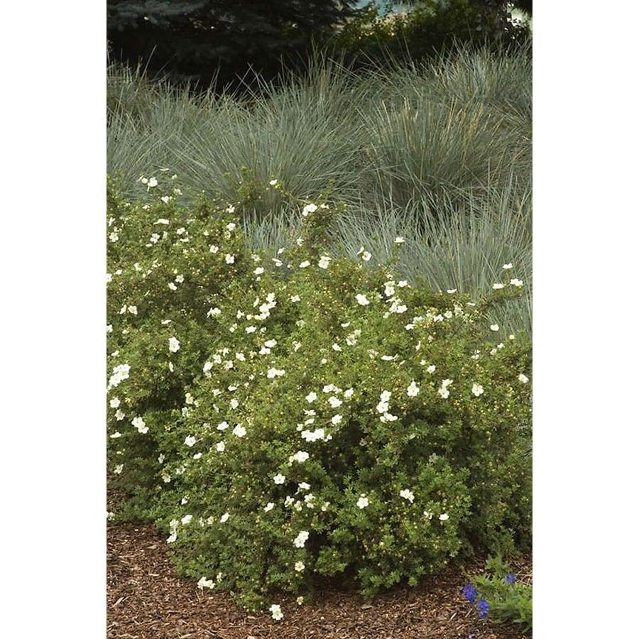 Monrovia 2.6-Quart White Frosty Potentilla Flowering Shrub