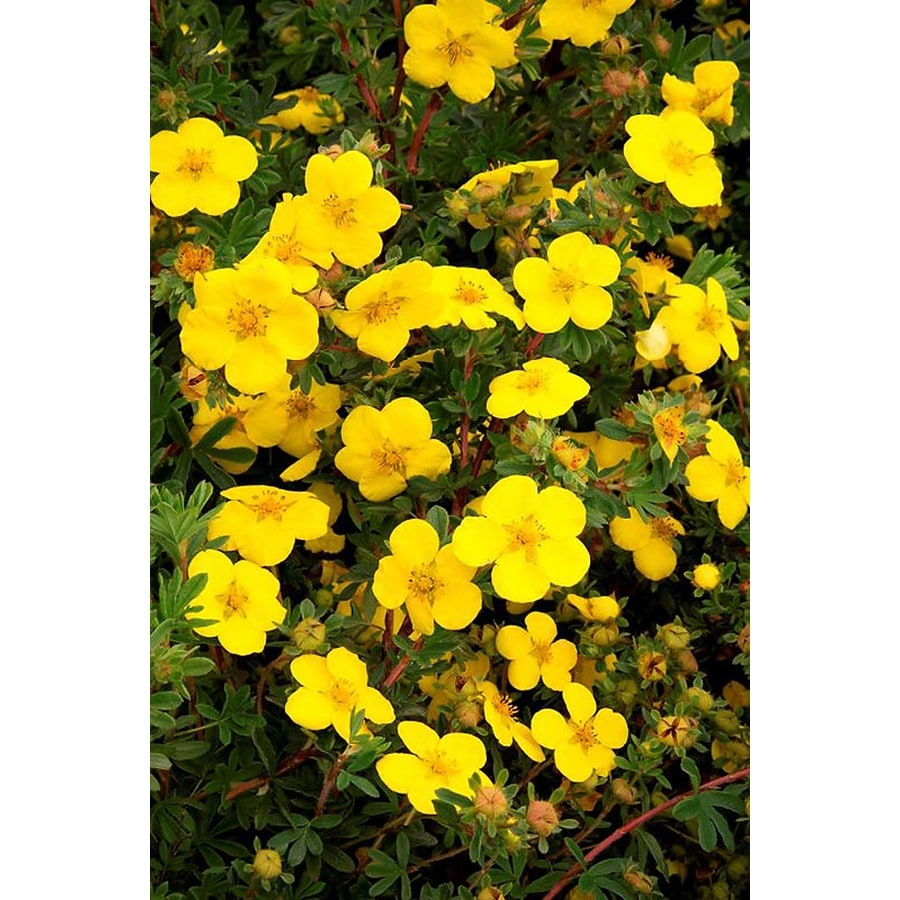 Monrovia 2.6-Quart Yellow Gold Star Potentilla Flowering Shrub