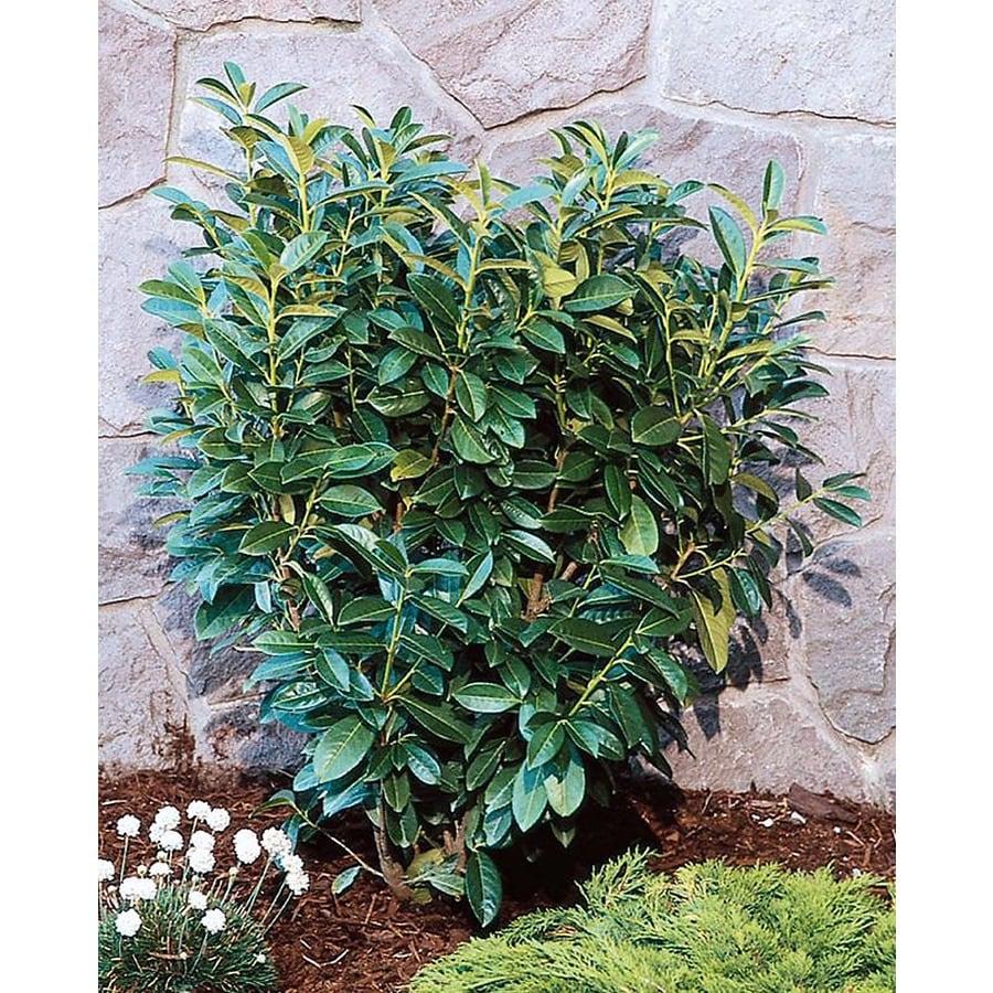 Monrovia 3.58-Gallon White Dwarf English Laurel Flowering Shrub