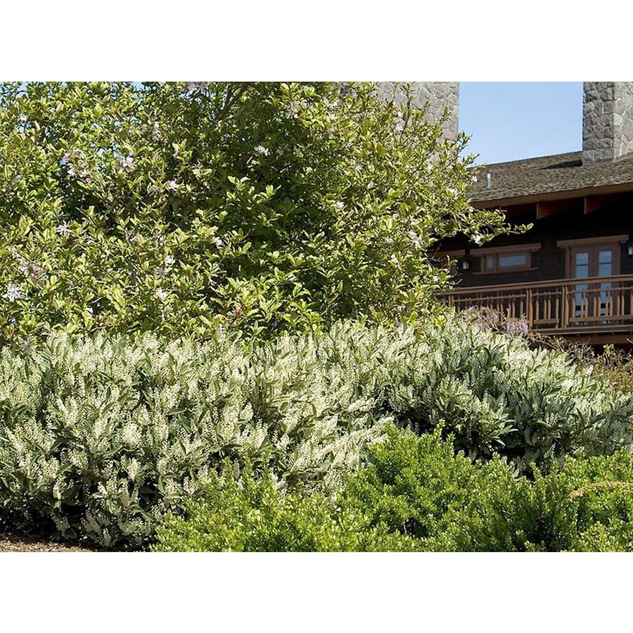 Monrovia 2.6-Quart White Otto Luyken English Laurel Flowering Shrub