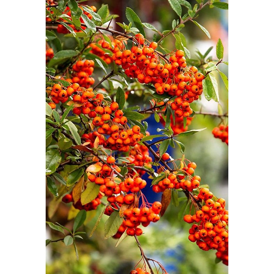 Monrovia 3.58-Gallon White Yukon Belle Pyracantha Flowering Shrub