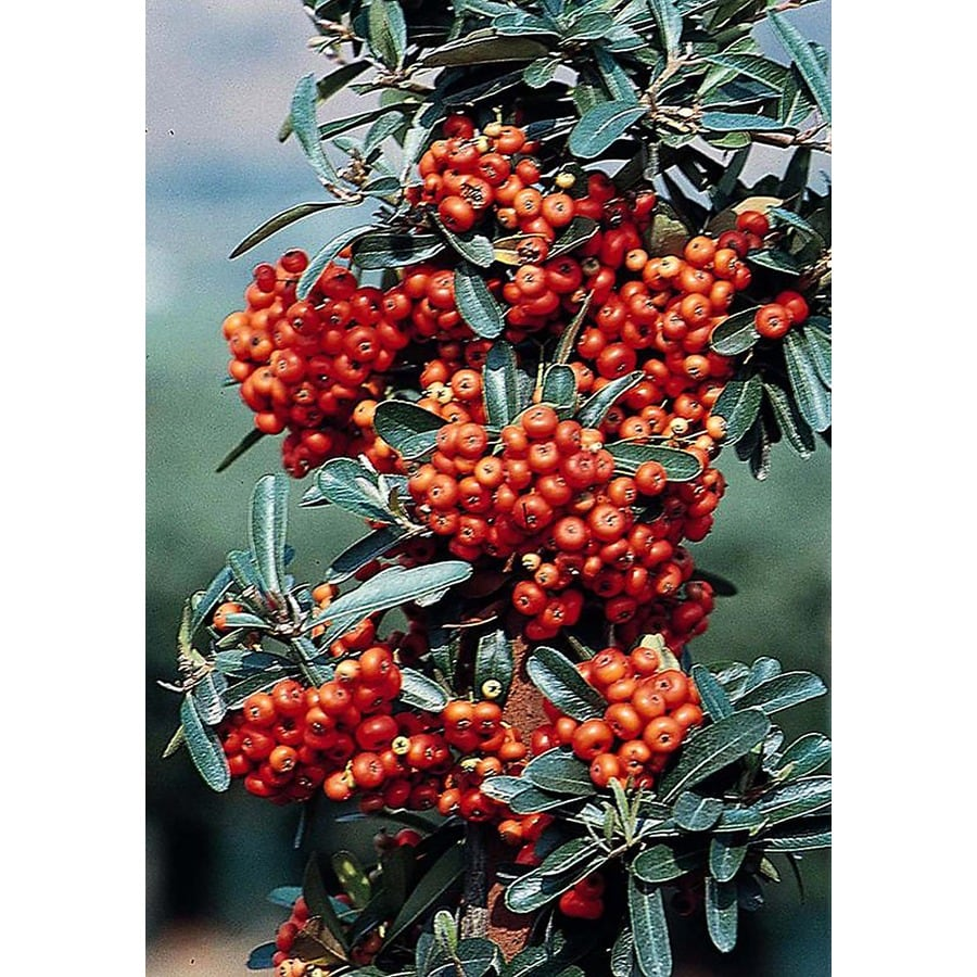 Monrovia 2.6-Quart White Mohave Pyracantha Flowering Shrub