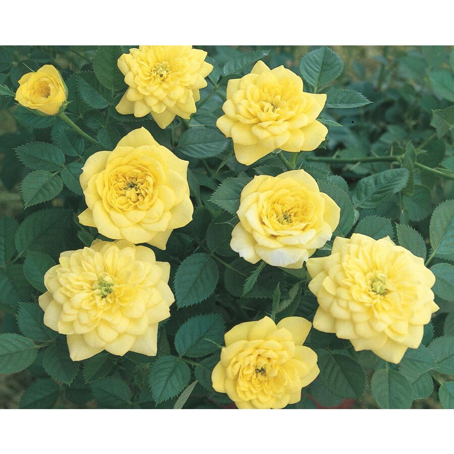 Monrovia 1.6-Gallon Golden Sunblaze Rose (L22091)