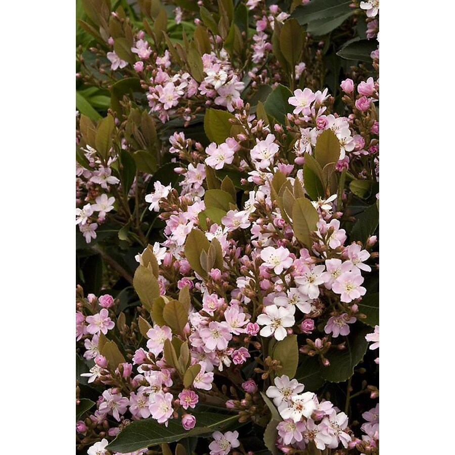 Monrovia 3.58-Gallon Pink Majestic Beauty Indian Hawthorn Patio Tree Flowering Shrub