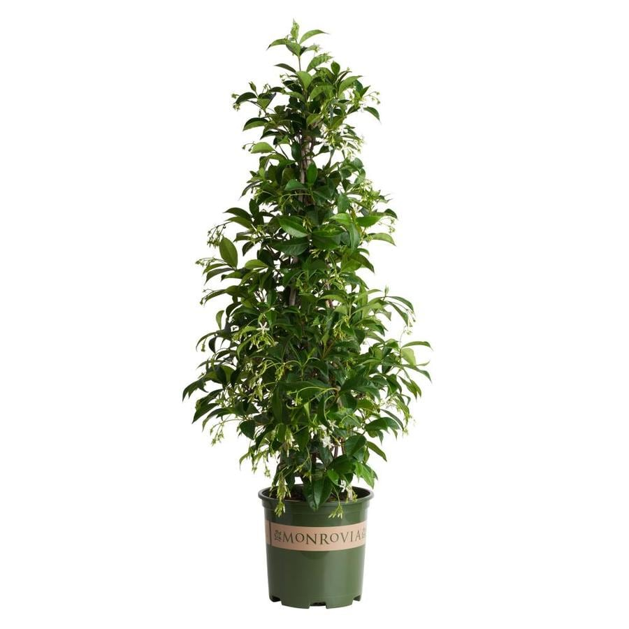 Monrovia 1.6 Gallon- Star Jasmine