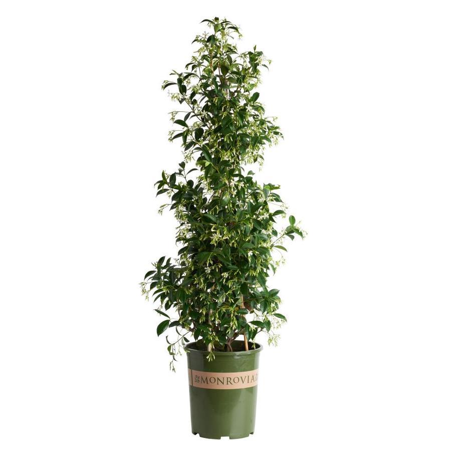Monrovia 3.6 Gallon- Star Jasmine
