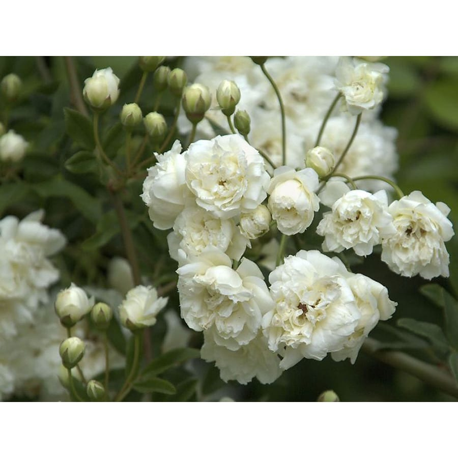 Monrovia 2.6 -Quart in Pot (with Soil) White Lady Banks Rose