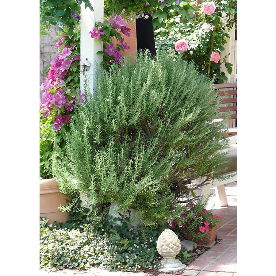 Monrovia 1.6-Gallon Blue Tuscan Blue Rosemary Flowering Shrub