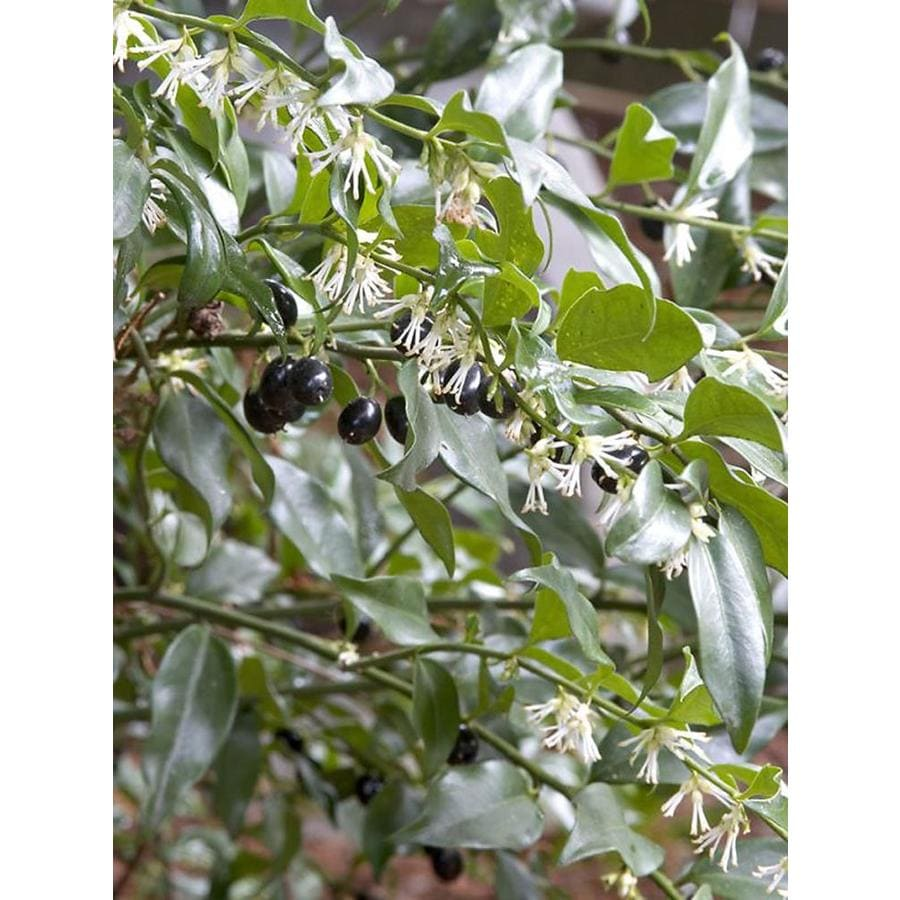 Monrovia 1.6-Gallon White Himalayan Sweet Box Flowering Shrub