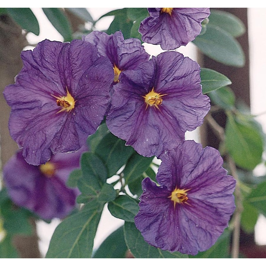Monrovia 3.58-Gallon Royal Robe Paraguay Nightshade Patio Tree Feature Shrub