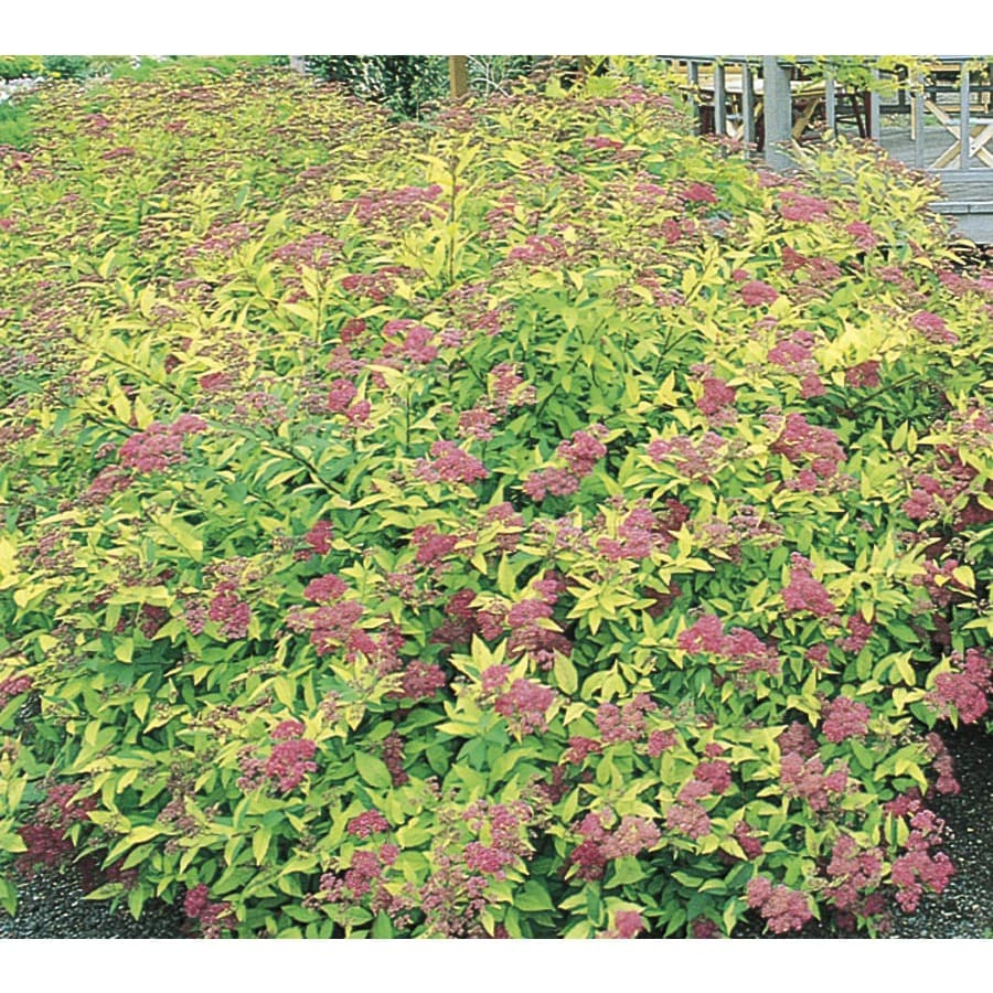Shop Monrovia 26 Quart Pink Goldflame Spirea Flowering Shrub L8408