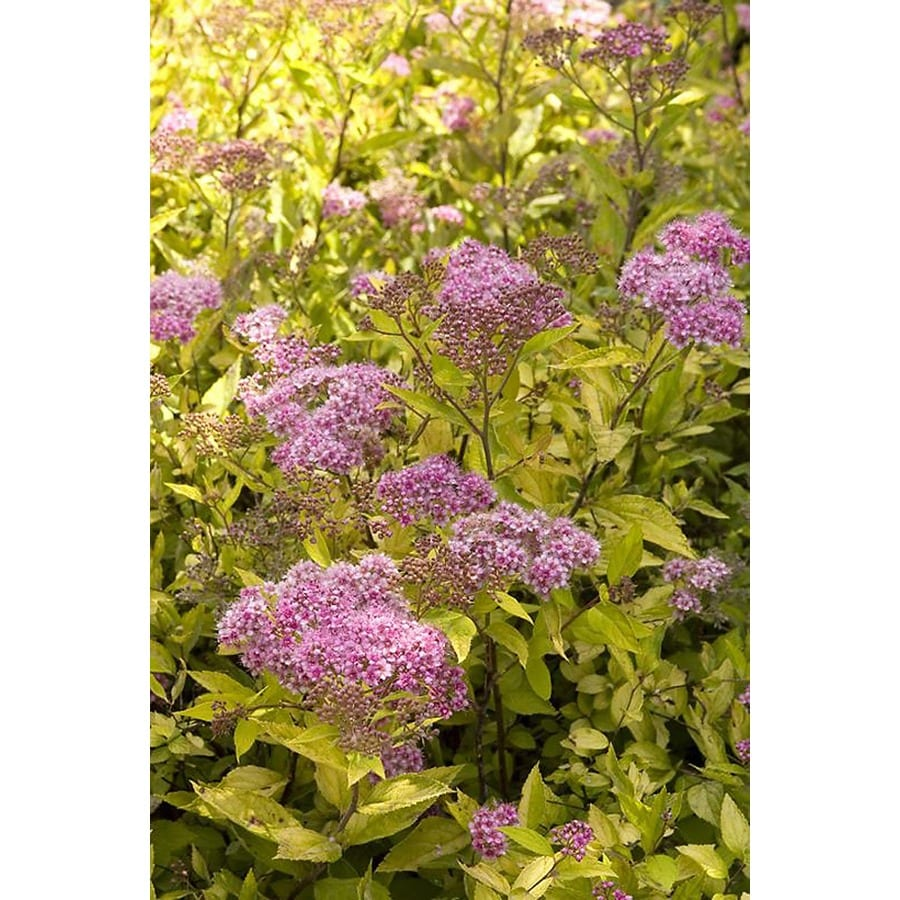 Shop Monrovia 26 Quart Pink Limemound Spirea Flowering Shrub At