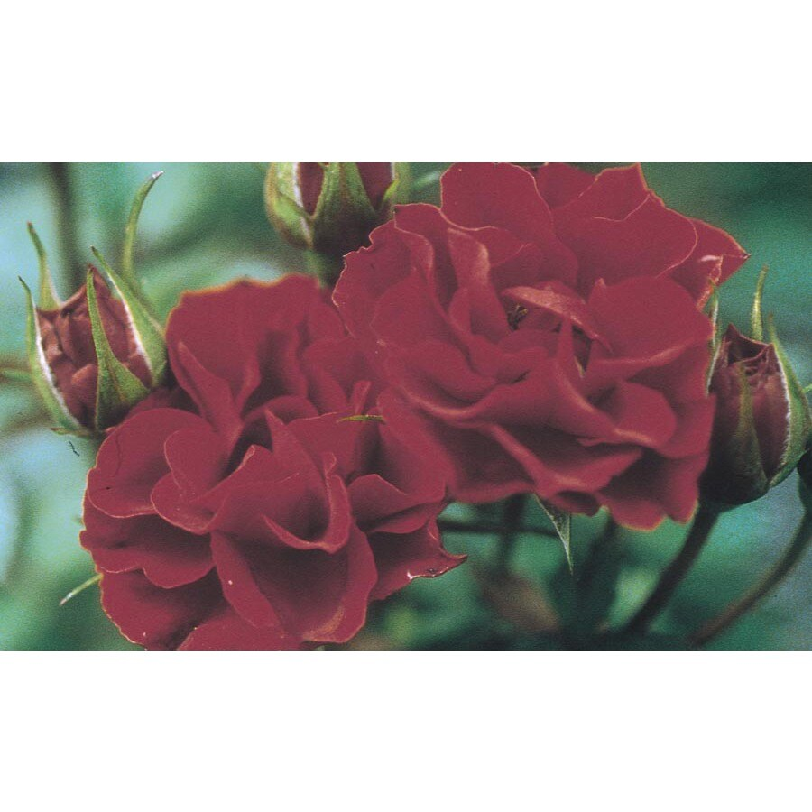 Monrovia 1.6-Gallon Red Sunblaze Rose (LW02387)