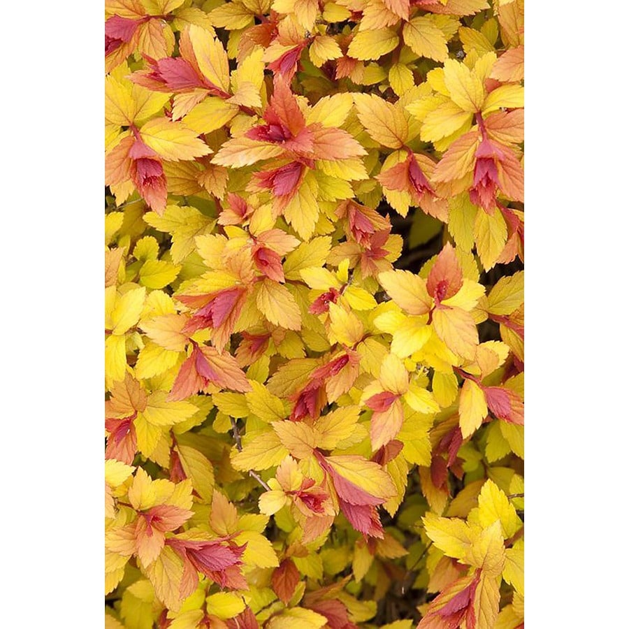 Monrovia 2.6-Quart Pink Magic Carpet Spirea P9363 Flowering Shrub