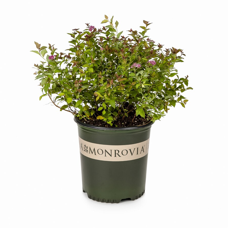 Monrovia 1.6-Gallon Pink Magic Carpet Spirea P9363 Flowering Shrub