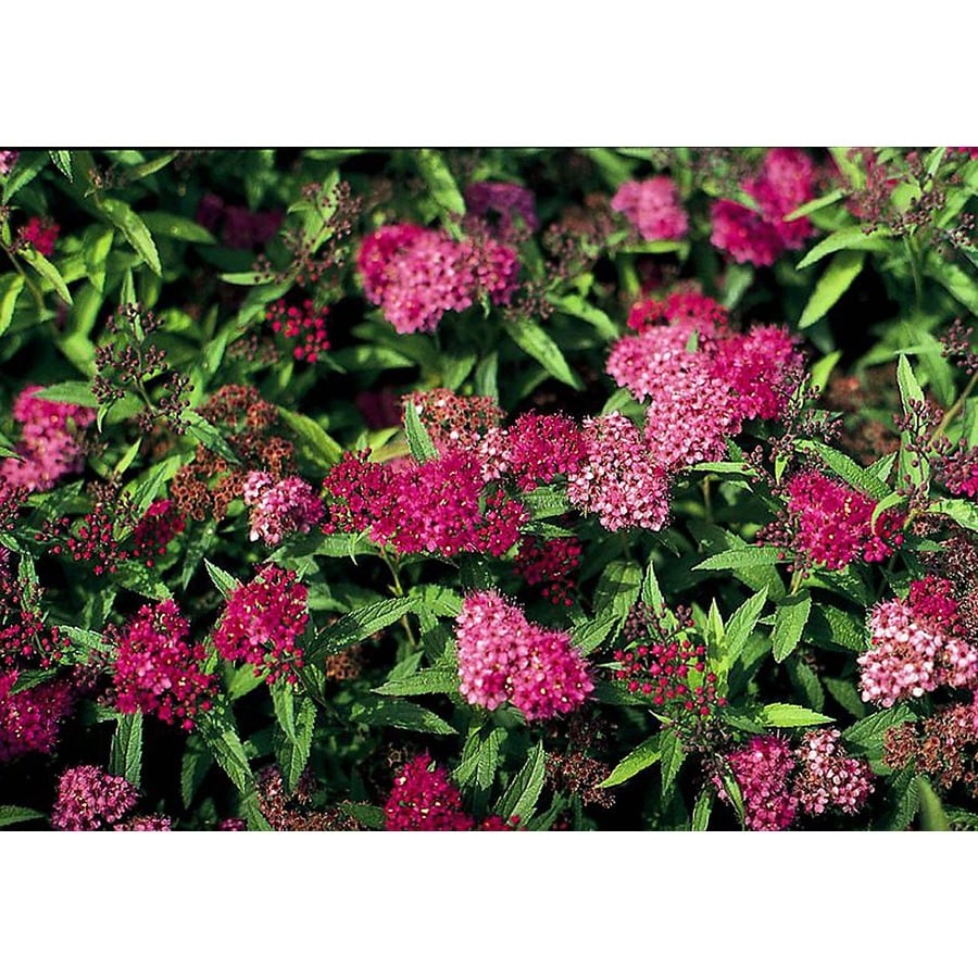 Monrovia 2.6-Quart Red Neon Flash Spirea Flowering Shrub