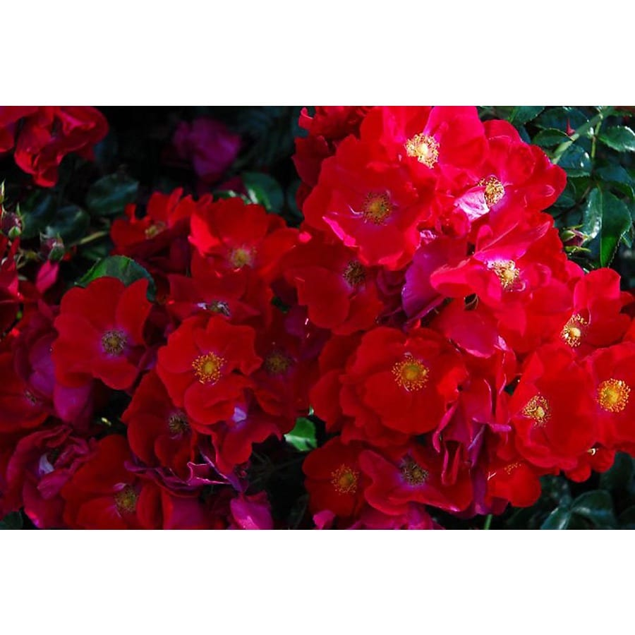 Monrovia 1.6-Gallon in Pot (with Soil) Flower Carpet Red Groundcover Rose (P11308)