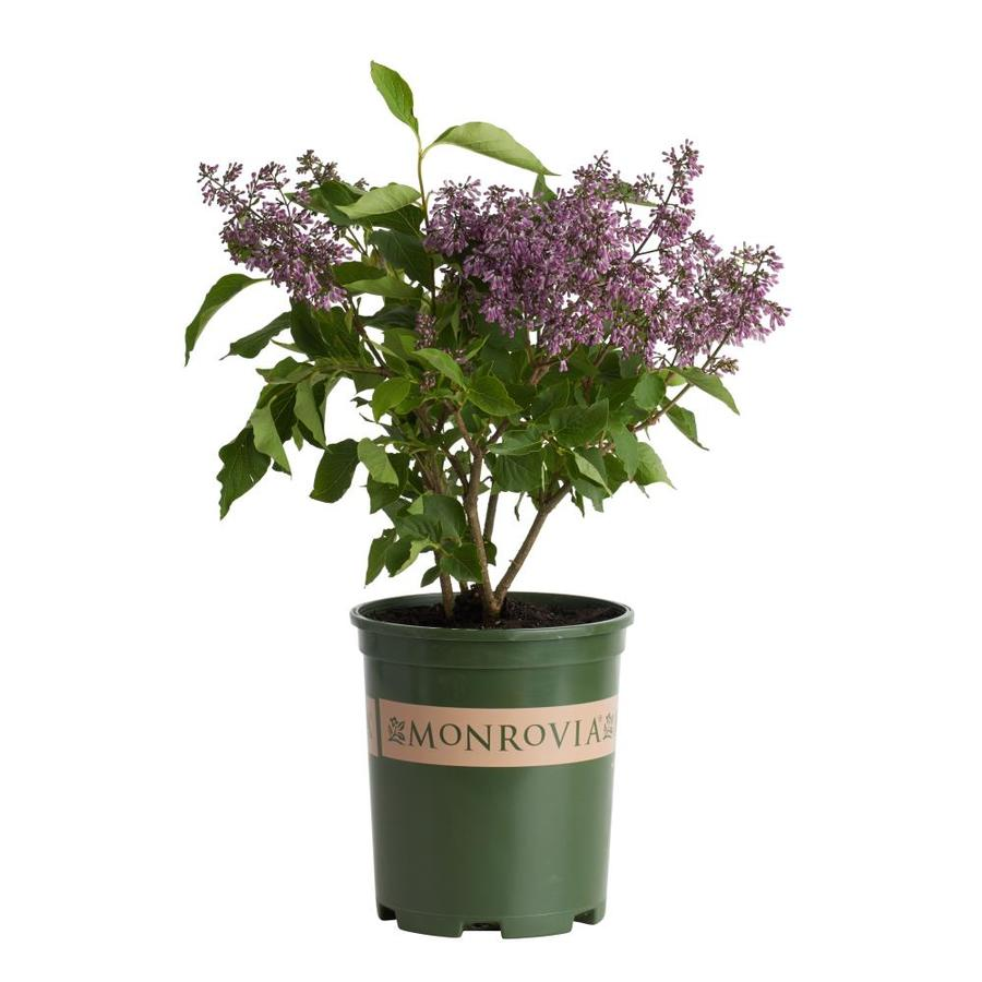 Monrovia 2.6-Quart Pink Miss Kim Korean Lilac Flowering Shrub