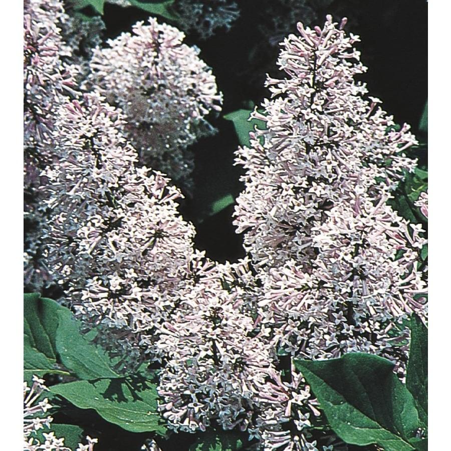 Monrovia 3.58-Gallon Blue Miss Kim Lilac Flowering Shrub (L1204)
