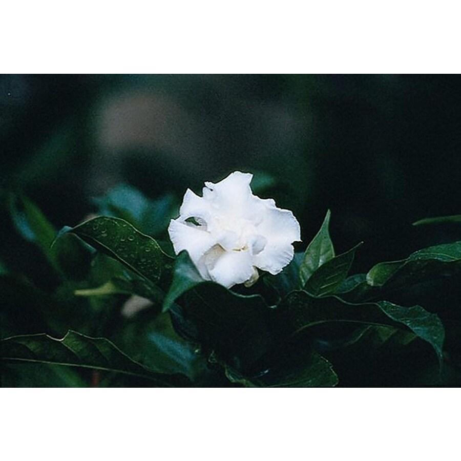 Monrovia 3.58-Gallon White Double-Flowering Crape Jasmine Flowering Shrub