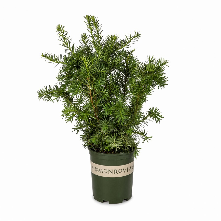 Monrovia 2.6-Quart Dense Spreading Yew Foundation/Hedge Shrub